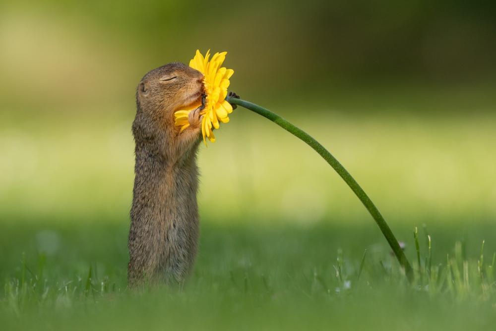 Esquilo cheirando flor amarela, em imagem capturada pelo fotógrafo holandês — Foto: Reprodução/Facebook/Dick van Duijn